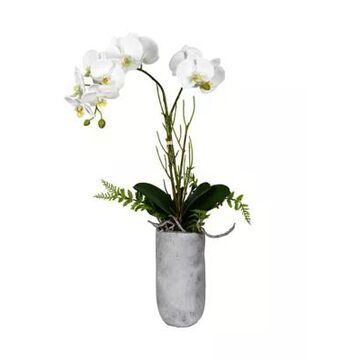 Vickerman White Butterfly Orchid -