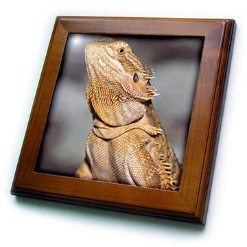 3dRose Bearded Dragon, Pogona vitticeps, lizard, reptile - NA02 AJE0365 - Adam Jones - Framed Tile, 6 by 6-inch